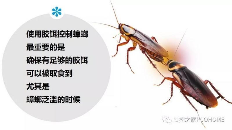 蟑螂的觅食习性